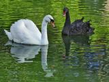 Mute Swan and Australian Mute Swan