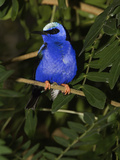 Red Legged Honeycreeper (Cyanerpes Cyaneu) Captive  Florida