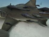 A Large Number of Remoras or Sharksuckers (Echeneis Naucrates) on a Female Lemon Shark