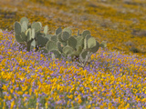 Prickly Pear Cactus (Opuntia) Surrounded by Mexican Poppy (Eschscholzia Mexicana)