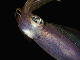 Head of the Reef Squid (Sepioteuthis Lessoniana)  Hawaii  USA