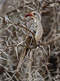 Red-Billed Hornbill (Tockus Erythrorhynchus)  Samburu Game Reserve  Kenya  Africa