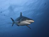 A Gray Reef Shark (Carcharhinus Amblyrhynchos)  Yap  Micronesia