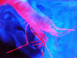 Deep Sea Shrimp (Parapandalus) Surrounded by its Own Bioluminescence