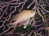 Mediterranean Anthias  (Anthias Anthias)  El Medallot  Medes Islands  Costa Brava
