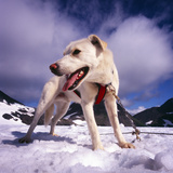 Sled Dog Takes Tourist Out onto the Glacier for the Experience of the Sled Dog Team  Alaska  USA