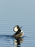 Hooded Merganser (Lophodytes Cucullatus) Courtship Display