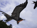 A Male Magnificent Frigatebird (Fregata Magnificens) in Flight over Santa Cruz Island