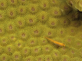 Striped Triplefin (Helcogramma Striatum) on a Hard Coral  Philippines
