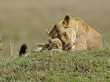 Lioness with Young Cub (Panthera Leo)  Masai Mara Game Reserve  Kenya  Africa