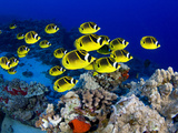 Schooling Raccoon Butterflyfish  (Chaetodon Lunula)  Hawaii