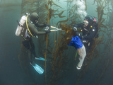 Research Divers and Marine Biologists Collecting Giant Kelp Specimens (Macrocystis Pyrifera)