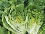 Tasty 'Buttercrunch' Bibb Lettuce (Lactuca Sativa) from a Home Garden