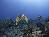 Green Sea Turtles Swimming over a Reef (Chelonia Mydas)  an Endangered Species  Hawaii  USA