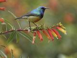 Sunbird (Nectarinia)  Nyungwe Forest National Park  Rwanda