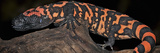Gila Monster (Heloderma Suspectum)  Captive