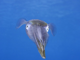 The Caribbean Reef Squid (Sepioteuthis Sepioidea)