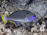 The Male Gilded Triggerfish (Xanthichthys Auromarginatus)