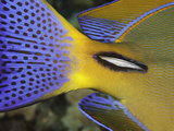 Close Up of the Spine Near the Colorful Tail of an Eyestripe Surgeonfish (Acanthurus Dussumieri)
