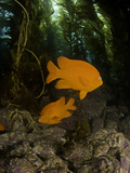 The Garibaldi (Hypsypops Rubicundus) Is the State Fish of California