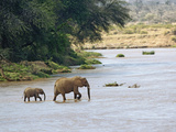 Female African Bush Elephant (Loxodonta Africana) and Her Calf Crossing River