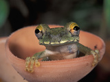 Treefrog Perched Sitting in a Cup Mushroom (Osteocephalus Buckleyi)  Tambopata Candamo Reserve
