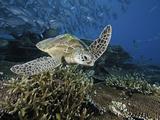 Green Sea Turtle (Chelonia Mydas) Swimming over a Coral Reef  Sipidan Island  Malaysia