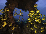 Schooling Raccoon Butterflyfish (Chaetodon Lunula)  Lanai  Hawaii  USA  Digital Composite