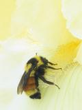 Bumble Bee (Bombus Borealis) on a Bearded Iris Collecting Pollen