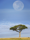 Umbrella Thorn Acacia (Acacia Tortilis) and a Termite on the Savanna under Full Moon