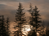 The Sun Sets Behind a Stand of Larch Trees in Siberia's Boreal Forest  Sakha Republic  Siberia