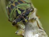 13 Year Cicada (Magicicada)