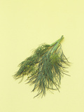 Dill a Popular Culinary Herb That Contains Impressive Amounts of Iron