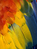 Scarlet Macaw Feather Pattern  Ara Macao