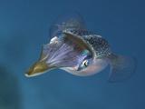 Caribbean Reef Squid (Sepioteuthis Sepioidea)  Caribbean