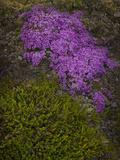 Creeping Thyme (Thymus Praecox Arcticus)