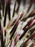 Miner's Urchin Shrimp (Gnathophylloides Mineri) on a Collector Urchin (Pseudoboletia Indiana)
