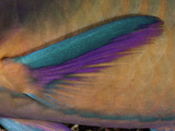Close Up of the Pectoral Fin of a Male Black-Veined Parrotfish (Scarus Rubroviolaceus)
