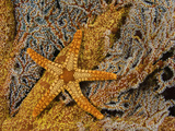 A Necklace Seastar (Fromia Monilis) on a Gorgonian Coral  Indonesia