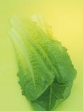 Romaine Lettuce (Lactuca Sativa)