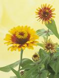 Zinnia Flowers and Flower Buds (Zinnia Elegans)  Zowie Yellow Flame Variety