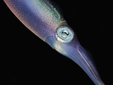 The Caribbean Reef Squid Head and Eye (Sepioteuthis Sepioidea)  Caribbean