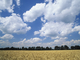 Wheat Field and Fair Weather Cumulus Clouds  Louisville  Kentucky