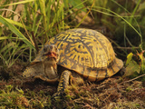 Eastern Box Turtle  Terrapene Carolina Carolina  Michigan