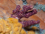 Dead Mens Fingers Soft Coral (Alcyonium Palmatum) Between Encrusting Sponge