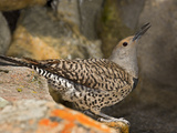 Female Northern Flicker (Colaptes Auratus) Taking a Sip of Water from Pond