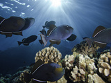 Black Triggerfish (Melichthys Niger)