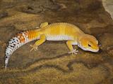 Common Leopard Gecko Morph (Eublepharis Macularius)  Pakistan