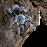 White-Collared Tarantula (Eupalaestrus Weijenberghi)  Captive