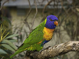 The Rainbow Lorikeet (Trichoglossus Haematodus)